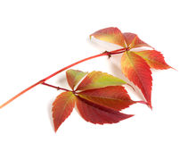 Branch of autumn red grapes leaves (Parthenocissus quinquefolia Royalty Free Stock Images