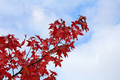 Branch with autumn red leaves Royalty Free Stock Images