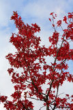 Branch with autumn red leaves Royalty Free Stock Image