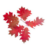 Branch of autumn red oak on a light background Stock Photos