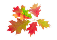 Branch of autumn red oak on a light background Royalty Free Stock Photography