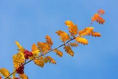 Branch autumn rowan Stock Image