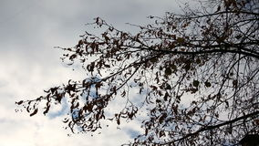 A branch of the autumn tree against a background of clouds.  stock footage