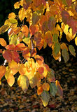 Branch of autumn tree glowing in sunlight Stock Photo