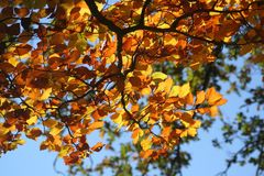 Branch, Autumn, Tree, Maidenhair Tree Stock Images