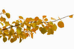 Branch with autumn yellow leaves isolated Stock Images