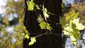 A branch of autumn yellow maple leaves stock video