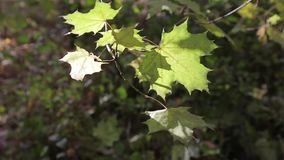 A branch of autumn yellow maple leaves stock video footage