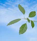 Branch of avocado tree Stock Photo