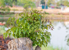 Branch of Azadirachta indica, neem tree showing compound leave Stock Image