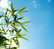 Branch of bamboo against the sky in the sunlight Stock Images