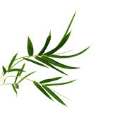 Branch of bamboo. Bamboo leaves isolated on white royalty free stock photo