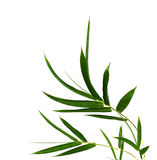 Branch of bamboo. Bamboo leaves isolated on white royalty free stock images