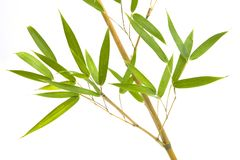Branch and bamboo leaves on white background stock image