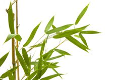 Branch and bamboo leaves on white background. From the left side stock photo