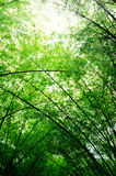 Branch of bamboo tree Royalty Free Stock Images