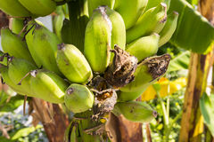Branch of banana damaged by plant louse Royalty Free Stock Photo