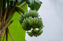 Branch with bananas Stock Photos