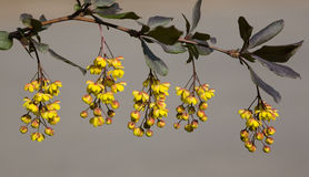 Branch of a barberry. In sunny spring day Stock Photo