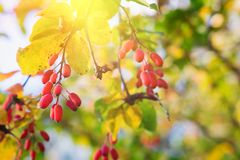 Branch of barberry Berberis vulgaris with yellow autumn leaves royalty free stock photography