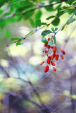Branch of a barberry close-up. Barberry with beautiful a side Royalty Free Stock Photography