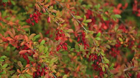 Branch of a barberry with clusters of berries stock video footage