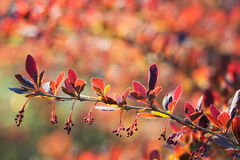Branch of barberry early spring with unblown flowers. Stock Photography