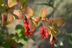 Branch of a barberry ordinary Berberis vulgaris L. with berrie. S stock photo