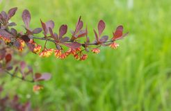Branch of barberry shrub with many flowers stock photos