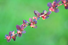 Branch barberry spring with unblown flowers Royalty Free Stock Photography