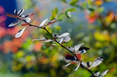 branch of barberry stock image