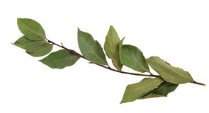 Branch of bay leaves. Isolated on a white background Stock Images