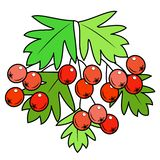 A branch of a beautiful berryshnik berry, medicinal plant. Useful berries in medicine for health. Graphic image. Vector vector illustration