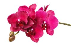 A branch of a beautiful blooming orchid of red shades, isolated. On a white background stock photos