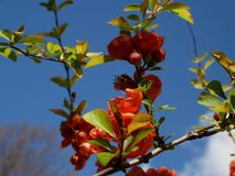 Branch of beautiful blossoming red chaenomeles japonica or maule`s quince with green. Beautiful Chaenomeles japonica flower Stock Images
