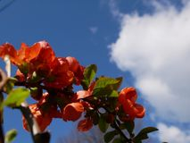 Branch of beautiful blossoming red chaenomeles japonica or maule`s quince with green. Beautiful Chaenomeles japonica flower Royalty Free Stock Image