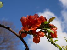 Branch of beautiful blossoming red chaenomeles japonica or maule`s quince with green. Beautiful Chaenomeles japonica flower Royalty Free Stock Images