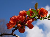 Branch of beautiful blossoming red chaenomeles japonica or maule`s quince with green. Beautiful Chaenomeles japonica flower Stock Image