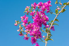 Branch of beautiful bougainvillea flowers on blue sky background Royalty Free Stock Photo