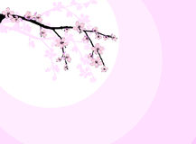 Branch of beautiful cherry blossom Royalty Free Stock Photography