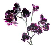 Branch beautiful dark cherry with white rim orchid, phalaenopsis Royalty Free Stock Photography