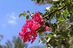 A branch of beautiful dark pink flowers stock image