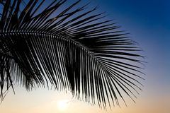Branch of a beautiful exotic palm tree against the sky. At sunset Royalty Free Stock Photos