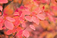 Amazing red autumn leaves on tree close up royalty free stock photography