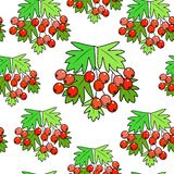 A branch of a beautiful hawthorn berry, a medicinal plant. Beneficial to health. Silent pattern. Vector illustration vector illustration