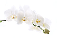 Branch of beautiful orchids isolated on white. Branch of beautiful fresh orchid isolated on white background royalty free stock image