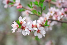 Branch with beautiful peach blossoms Royalty Free Stock Image