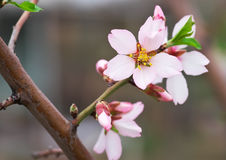 Branch with beautiful peach blossoms Royalty Free Stock Photography