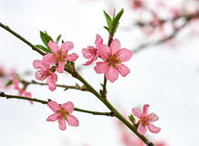 Branch with beautiful peach blossoms Royalty Free Stock Images