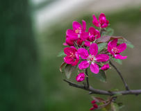 Branch beautiful pink flower of apple. Stock Image